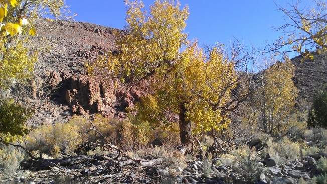 Cottonwoods in full color